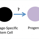 Reprogramming of somatic cells into iPSCs by transient expression of defined transcription factors (OCT4, SOX2, KLF4, C-MYC) is a robust and highly reproducible procedure. However, efficient and controlled multistep differentiation of iPSCs into transient phenotypes and mature functional cells and precise characterization of these cell type identities across developmental states are currently among the greatest challenges in stem cell biology